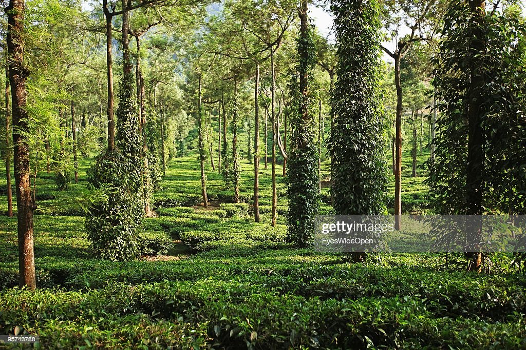 Tea plantation in Kumily on January 02, 2009 in Kumily near Trivandrum, Kerala, South India.