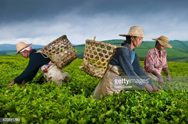 Tea plantation in Madagascar