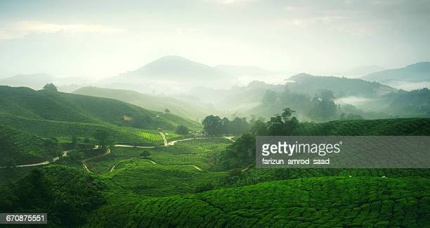 tea plantation in mist, cameron highlands, malaysia - camellia sinensis stock photos and pictures