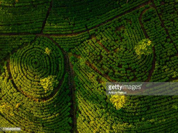 tea plantation in nuwara eliya at sunrise, sri lanka. aerial view - sri lanka stock pictures, royalty-free photos & images