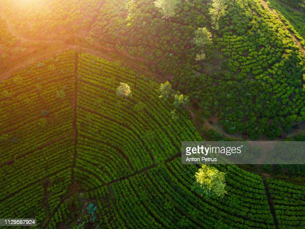 Tea plantation in Nuwara Eliya at sunrise, Sri Lanka