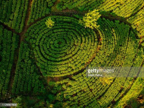 tea plantation in nuwara eliya at sunrise, sri lanka - kandy kandy district sri lanka stock photos and pictures