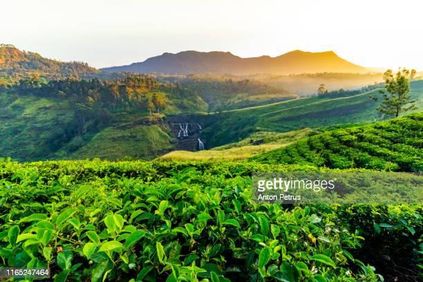 tea plantation in nuwara eliya at sunrise, sri lanka - kandy kandy district sri lanka stock pictures, royalty-free photos & images