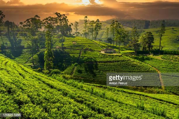tea plantation in nuwara eliya at sunset, sri lanka - tea crop stock pictures, royalty-free photos & images