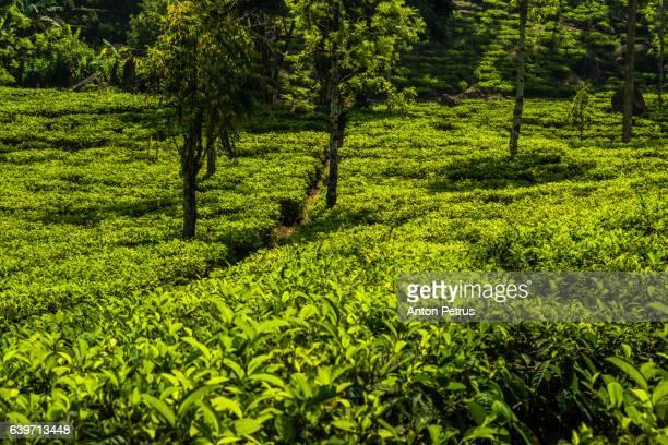 Tea plantation in Nuwara Eliya, Sri Lanka