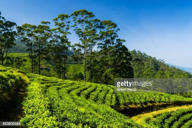 tea plantation in nuwara eliya, sri lanka - kandy kandy district sri lanka stock photos and pictures