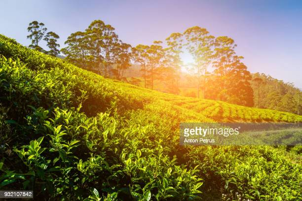 tea plantation in nuwara eliya, sri lanka - tea tree oil stock photos and pictures