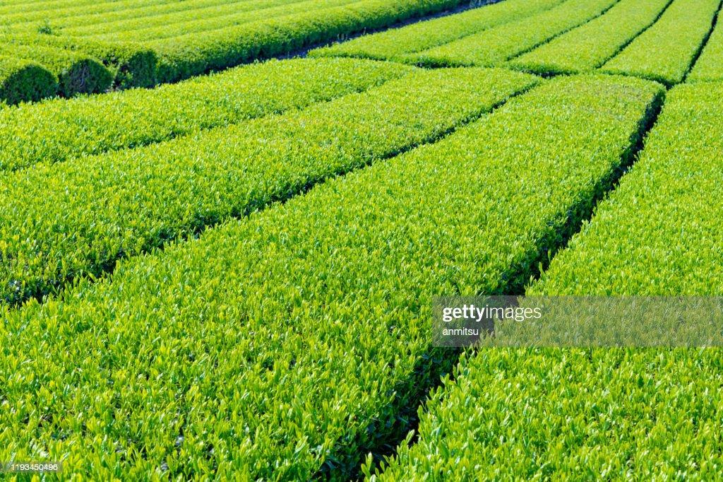 Tea plantation in Oobuchisasaba, Fuji City, Shizuoka Prefecture : Stock Photo