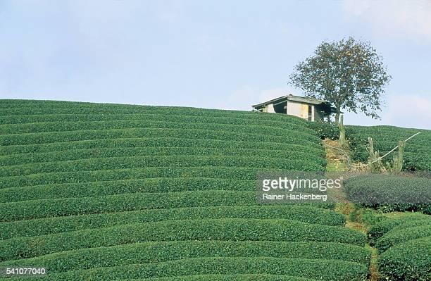 tea plantation in shizuoka (japan) - 静岡県 ストックフォトと画像