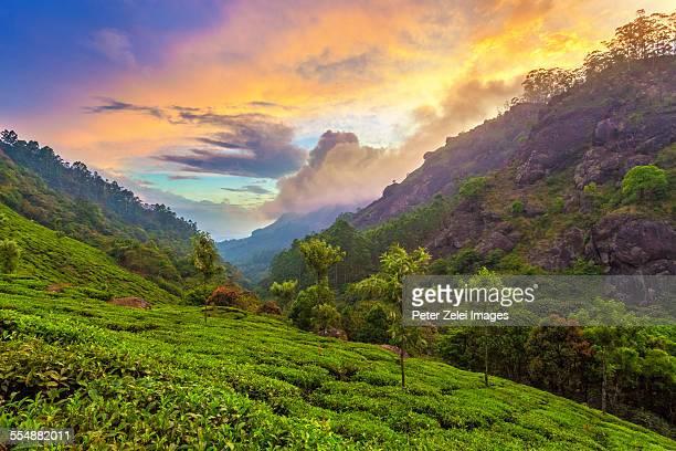 Tea plantation in South India