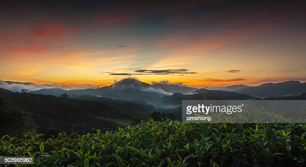 Tea plantation in the Cameron Highland