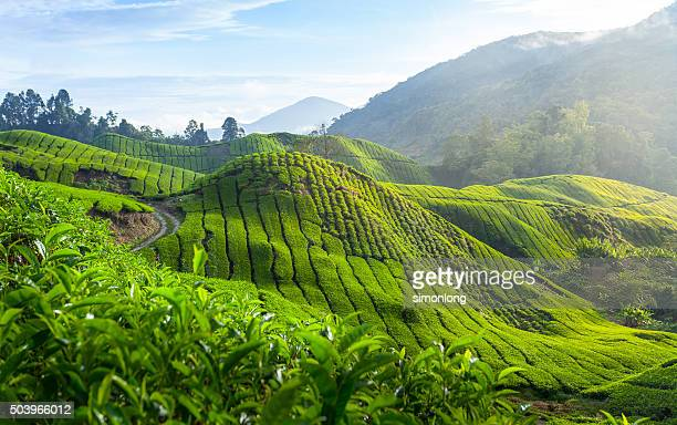 Tea plantation in the Cameron Highland