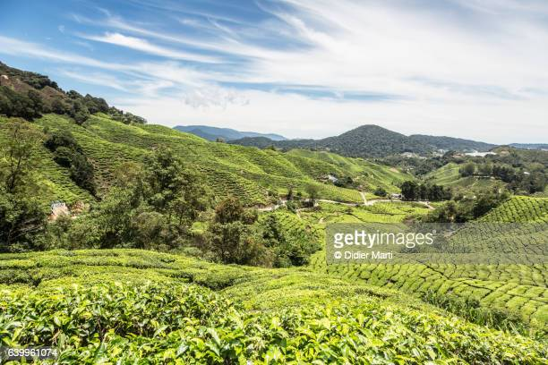 Tea plantation in the Cameron Highlands in Malaysia.