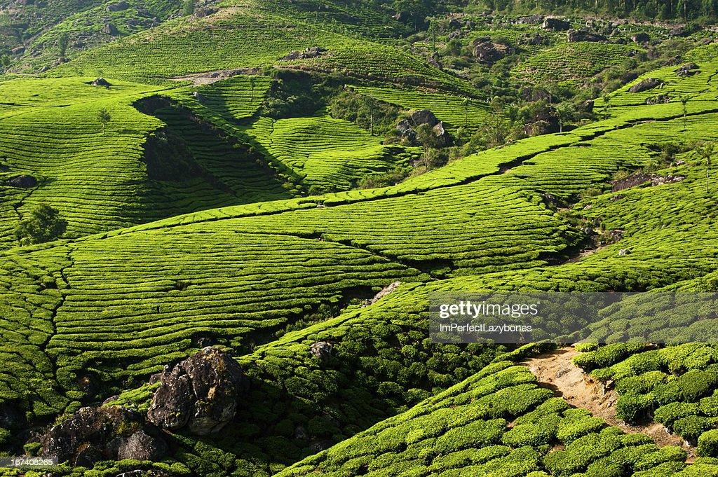 plantation de thé paysage. Munnar, Kerala, Inde : Photo