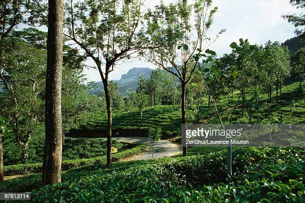 Tea plantation, mongoose crossing path in distance, Darjeeling, India