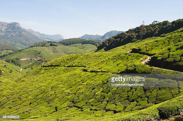 Tea plantation Munnar Idukki Kerala India