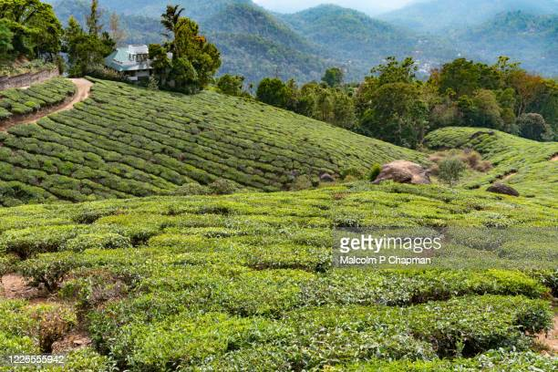 "tea plantation, munnar, kerala, india - india ""malcolm p chapman"" or ""malcolm chapman"" ストックフォトと画像"