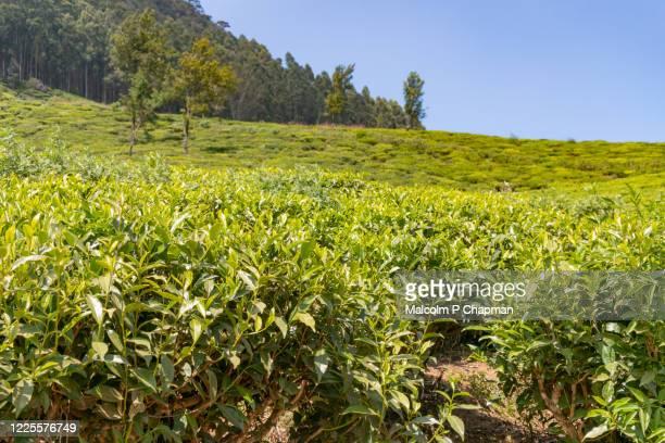tea plantation near nuwara eliya, sri lanka - sri lanka stock pictures, royalty-free photos & images