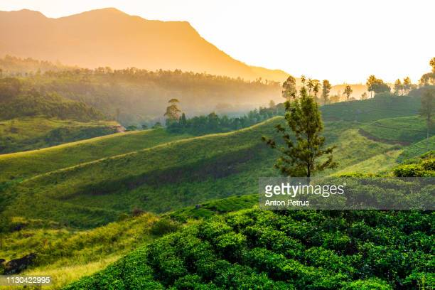 tea plantation near st claire waterfall at sunrise, sri lanka - sri lanka stock-fotos und bilder