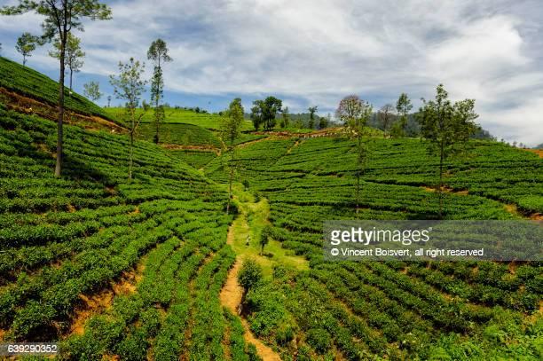tea plantation, nuwara eliya, sri lanka - kandy kandy district sri lanka stock photos and pictures