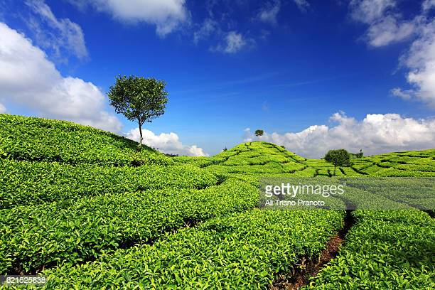tea plantation of ciwidey in west java. 45 minutes from banding city. - bandung stock pictures, royalty-free photos & images