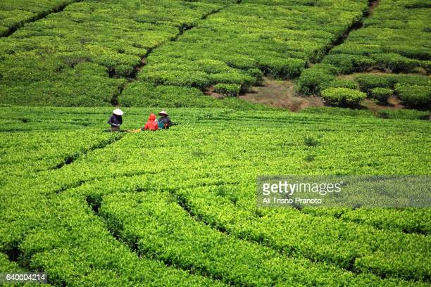 Tea plantation of Ciwidey in West Java. 45 minutes from Bandung City.