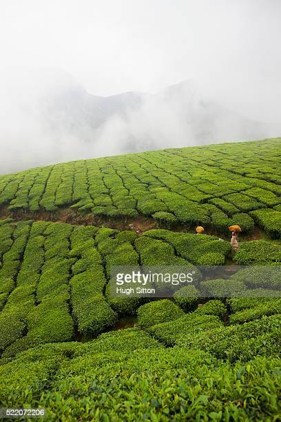 tea plantation on hill - hugh sitton stock-fotos und bilder