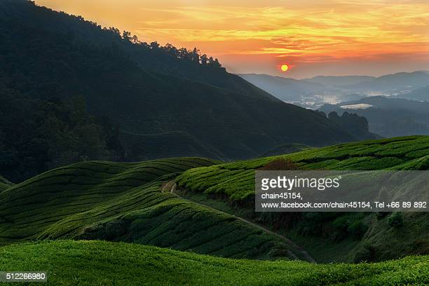 Tea plantation on the hill of mountain view in sun rise at Malaysia, Asian