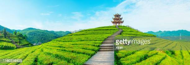 tea plantation - japan stock pictures, royalty-free photos & images