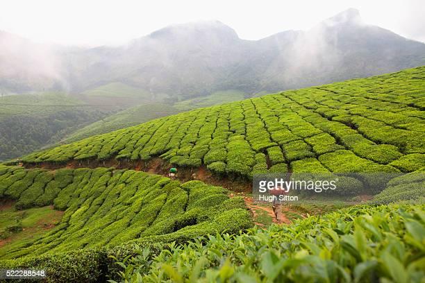 tea plantation - hugh sitton india stock pictures, royalty-free photos & images