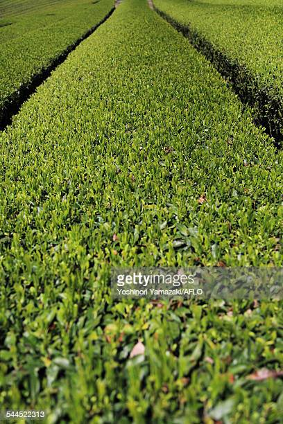 tea plantation - uji kyoto stock pictures, royalty-free photos & images