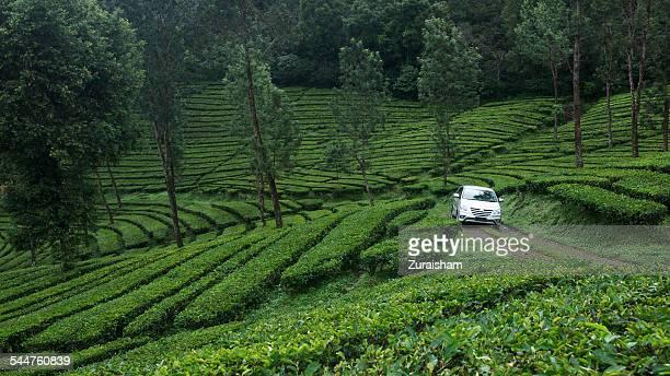 tea plantation - bogor stock pictures, royalty-free photos & images