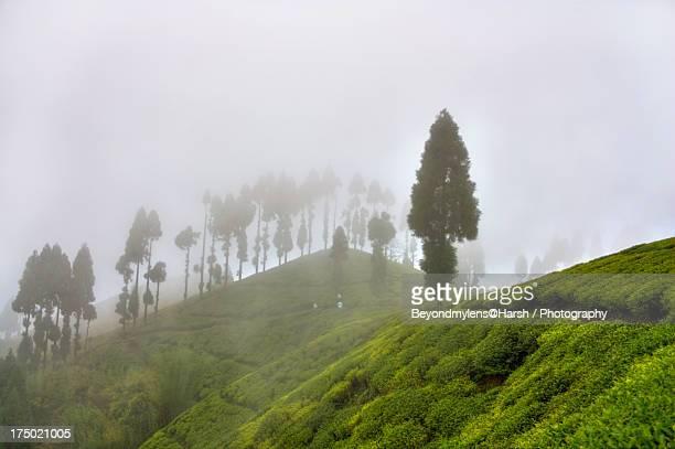 tea plantation | tea garden estate | pure darjeeli - grounds stock pictures, royalty-free photos & images