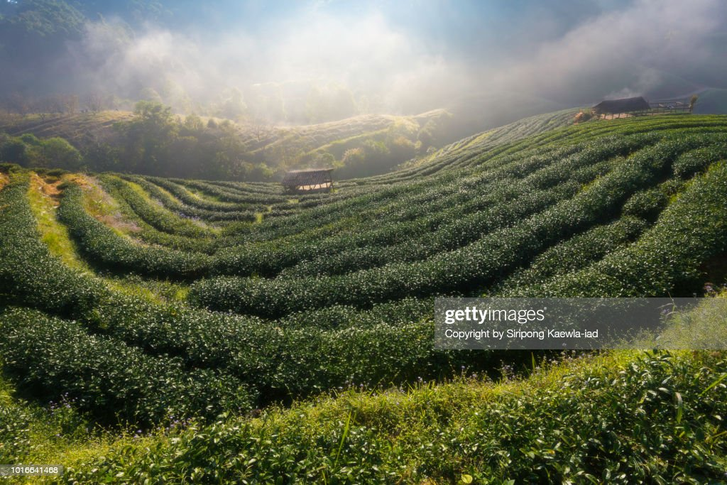 Tea plantation with morning fog at Doi Ang Khang, Chiang Mai, Thailand. : Stock Photo