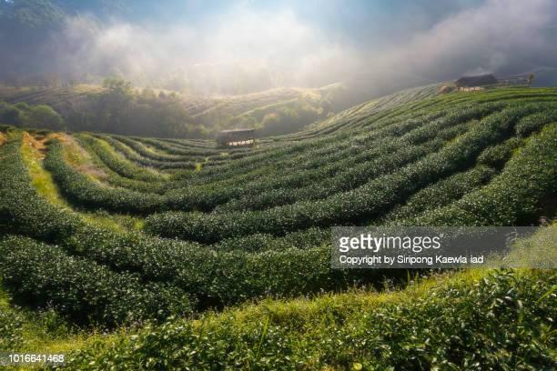 tea plantation with morning fog at doi ang khang, chiang mai, thailand. - copyright by siripong kaewla iad stock photos and pictures