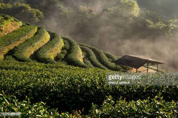 tea plantation with morning fog at doi ang khang - tea tree oil stock photos and pictures