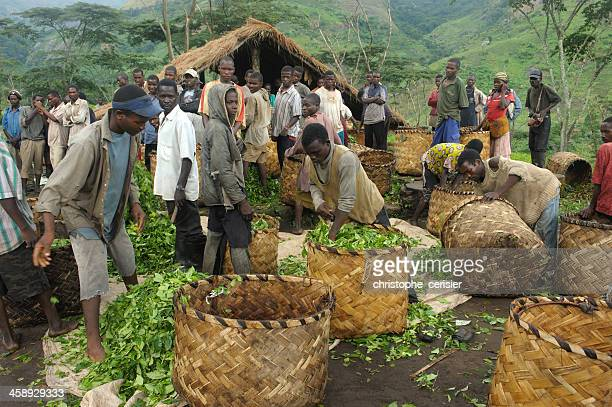tea plantation workers, mozambique - mozambique stock pictures, royalty-free photos & images