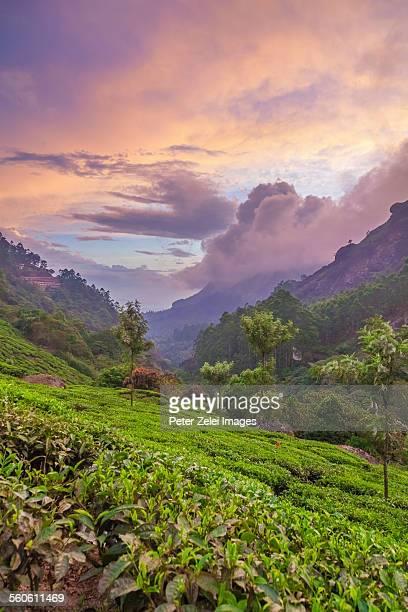 Tea plantations at dusk