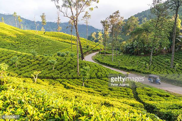 tea plantations, ella, southern highlands - tea crop stock pictures, royalty-free photos & images