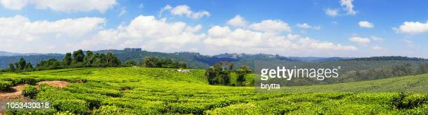 Tea plantations in the Mufindi Southern Highlands in Tanzania