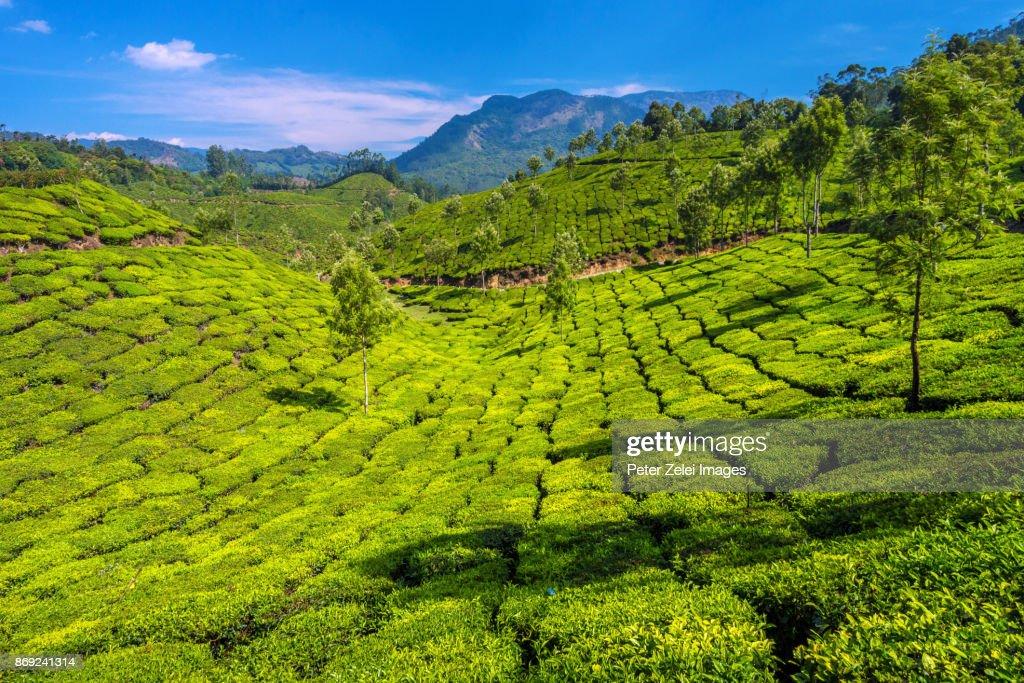 Tea Plantations In The Surroundings Of Munnar Kerala India ...