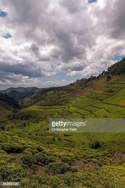 Tea plantations, Kanungu, Uganda