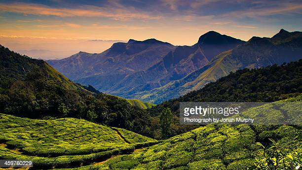 Tea plantations near Kodaikanal