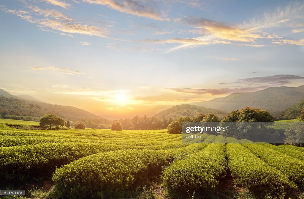 tea plantations : Stock Photo
