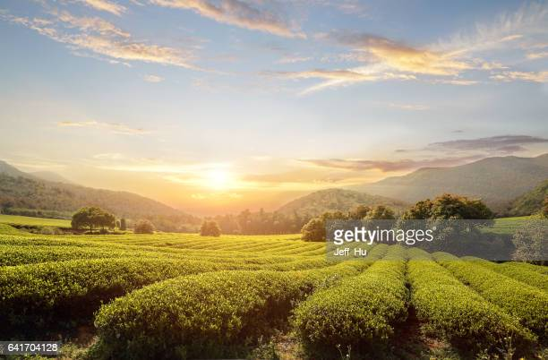 tea plantations - plantation stock pictures, royalty-free photos & images