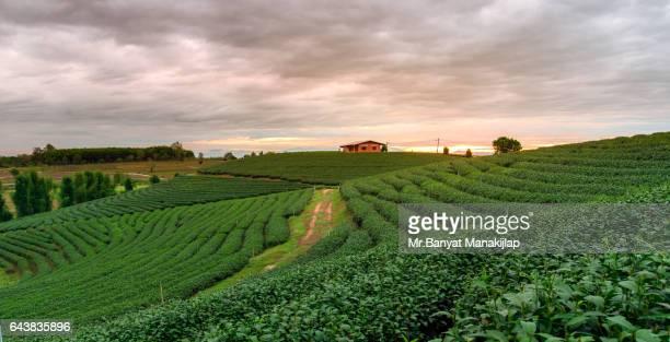 Tea Plantations under sky during sunrise