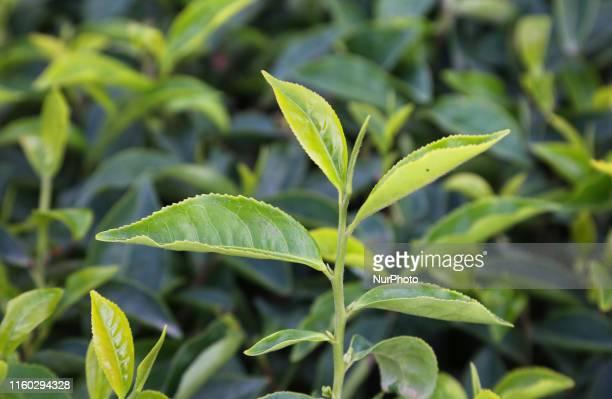 Tea plants seen growing along the hills of the Lockhart Tea Estate in Udumbanchola, Idukki, Kerala, India. Tea is one of the main crops in this...