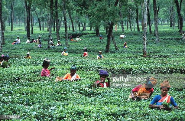 Tea pluckers at work in an Assam plantation