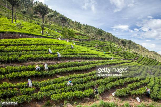 Tea pluckers on a plantation