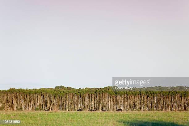 tea tree at cape wickham, on king island, ausytalia. - tea tree oil stock photos and pictures